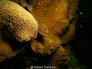 golden moray eel by Helen Hansen 